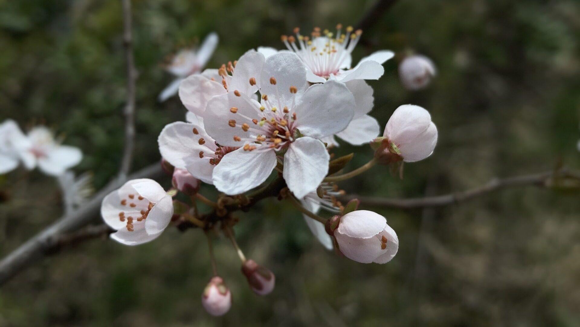 Frühlingserwachen mit Kirschpflaume